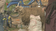 Stock Video Footage of Sheep on a roadside