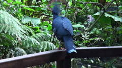 Victorian Crowned Pigeon on a bridge in atropical garden Stock Footage