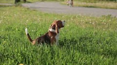Pedigree dog Beagle barks and runs to his girlfriend in defocus at sunset. Slow - stock footage