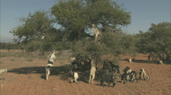 Goats up and Argan tree Stock Footage
