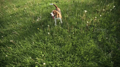 Pedigree dog Beagle barks and runs at sunset. Slow motion Stock Footage