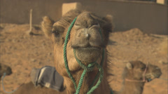 Camel's face, looking to camera then turing away. Stock Footage