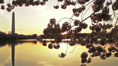 Cherry Blossoms - Sun Peaks through Blosoms Stock Footage