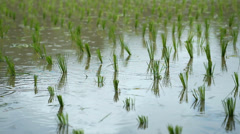 rice crops and water rice farm filed in raining day - stock footage