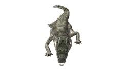 Crocodile swaying body climb crawling,Dangerous animals. Stock Footage