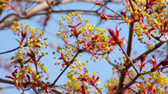 Maple blossom with red new leaves, shaking in the spring wind on blue sky. Stock Footage