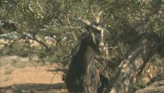A goat in an Argan tree Stock Footage