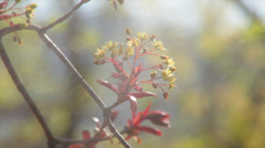 Maple blossom with tiny leaves, shaking in the spring rain on blur background. Stock Footage
