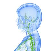 Anatomy of female lymphatic system - stock illustration