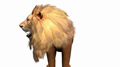 Lion looked around,Endangered wild animal wildlife. - stock footage