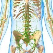 3d Anatomy of lymphatic system with skeleton - stock illustration