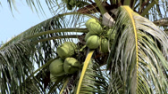 Stock Video Footage of Coconuts growing in the Palm Tree