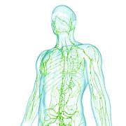 3d Anatomy of male body with lymphatic system Stock Illustration