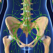 3d Anatomy of lymphatic system with pelvic girdle - stock illustration