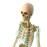 3d Anatomy of female lymphatic system with skeleton - stock illustration