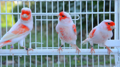 Canary birds Stock Footage