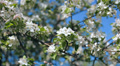 bee on the flowers of  tree,  pollination 003 HD Footage