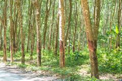 row of para rubber tree - stock photo