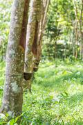 View of a rubber plantation in thailand Stock Photos