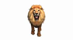 Lion run,Endangered wild animal wildlife running. - stock footage