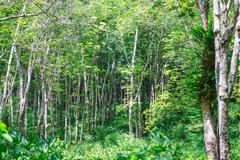 view of a rubber plantation in thailand - stock photo