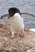 Adelie penguin who is a stone in the nest Stock Photos