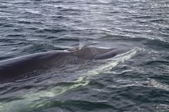 minke whale surfaced to breathe in antarctic waters - stock photo