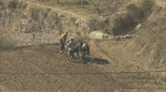 Mules working in a field - stock footage