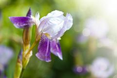 Blooming iris Stock Photos
