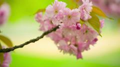Flowering trees Stock Footage