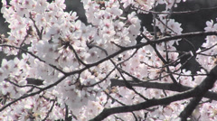 Cherry Blossoms at Shinjuku Gyoen Park Stock Footage