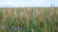 cereal spikelets in wheat field 002 HD Footage