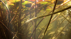 Water lily underwater with fishes Stock Footage