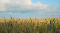Cereal spikelets in wheat field 005 Stock Footage