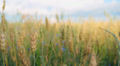 cereal spikelets in wheat field 003 HD Footage