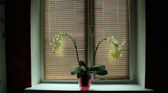 Blossoming white orchid on the window-sill with jalousie horizontal Stock Footage
