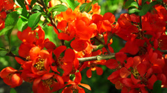 Quince. Red flowers. 4K. Stock Footage