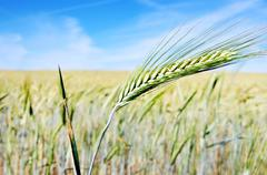 spike of wheat on field - stock photo