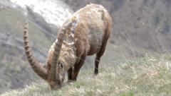 Alpine ibex male is grazing in grass Stock Footage