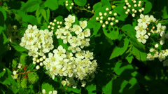 The bird cherry. White flowers. 4K. Stock Footage
