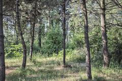 Walking road in  the pinewood forest near Marina Romea Stock Photos