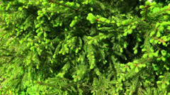 Fir-tree branches with young shoots. 4K. Stock Footage