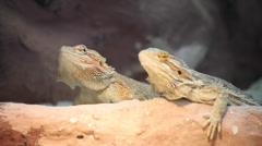 Agama bearded dragon, Pogona vitticeps, two lizards, reptiles, couple, pair Stock Footage