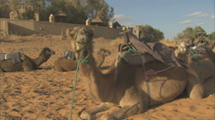 Camels lying down Stock Footage