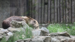 Depressed bear in Zoo, wild animal in captivity, anxious brown bear walking Stock Footage