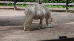 White Shetland pony at farm, Zoo, beautiful small horse shakes his coat Stock Footage