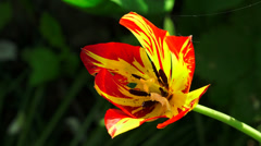 Red and yellow Tulip. 4K. Stock Footage