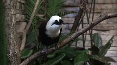 Sumatran laughingthrush black bird with white head Stock Footage