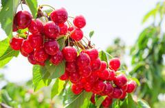 sunlit branch of cherry berry tree - stock photo
