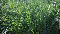 Green Grass in Field - New Growth of Ornamental Grass Stock Footage